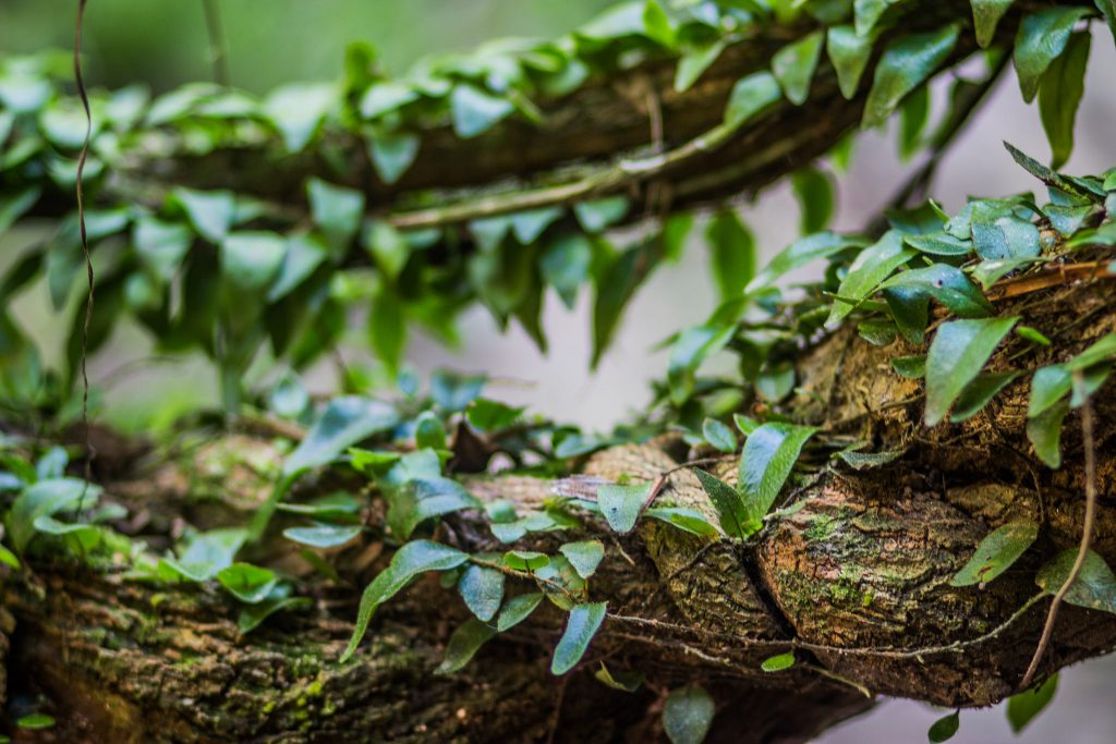 The vine Banisteriopsis caapi is one ingredient in ayahuasca, a psychedelic brew that Amazonian indigenous populations have long used for spiritual purposes. Apollo/flickr, CC BY-SA
