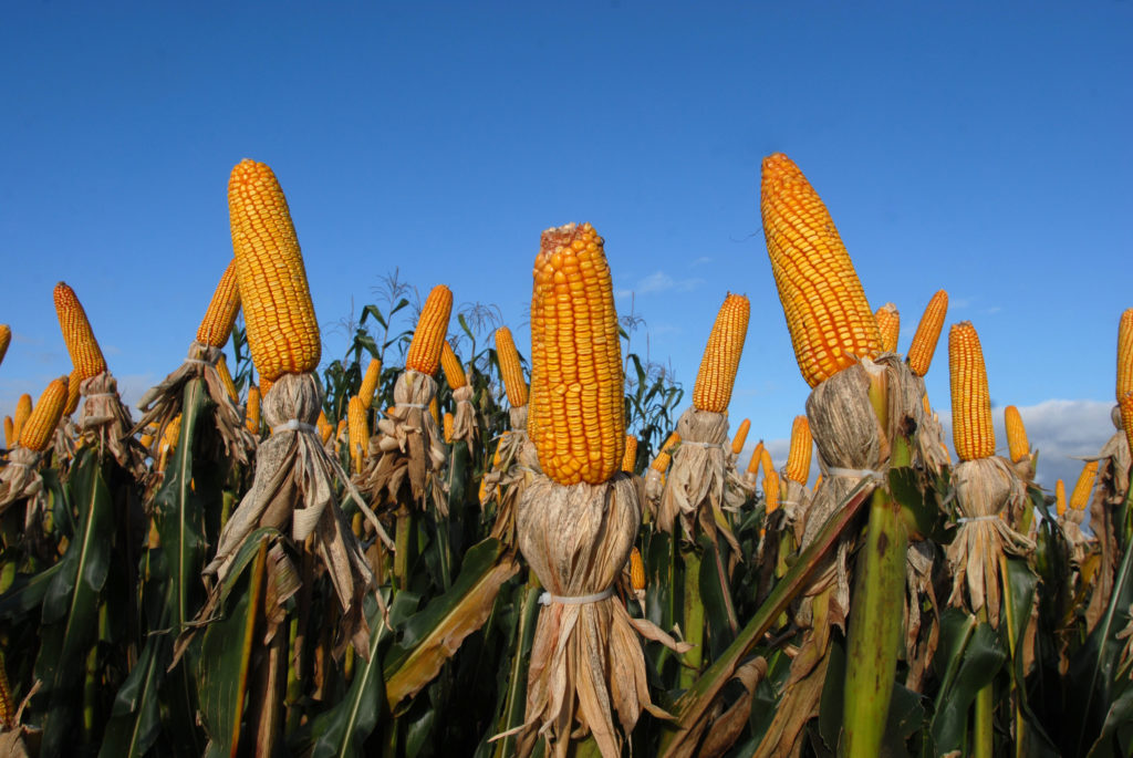 brazilian agribusiness corn