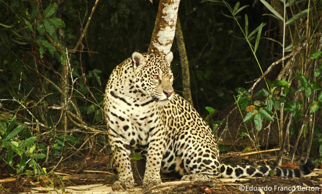 a journey into the amazon jaguar black market infoamazonia