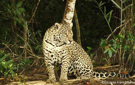 brazilian amazon jaguar