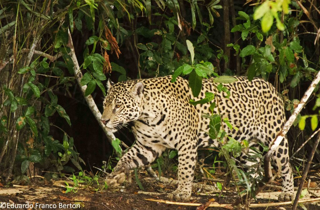 amazon jaguar biodiversity