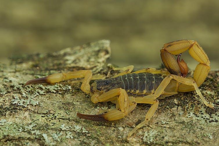 yellow scorpions brazil infestation