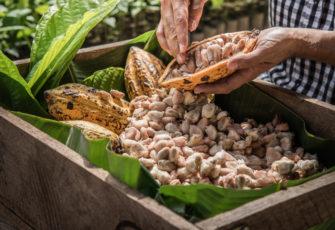 The rebirth of the Brazilian cocoa industry