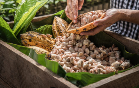 The rebirth of the Brazilian cocoa industry