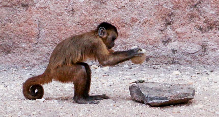 evolution monkeys farm brazil